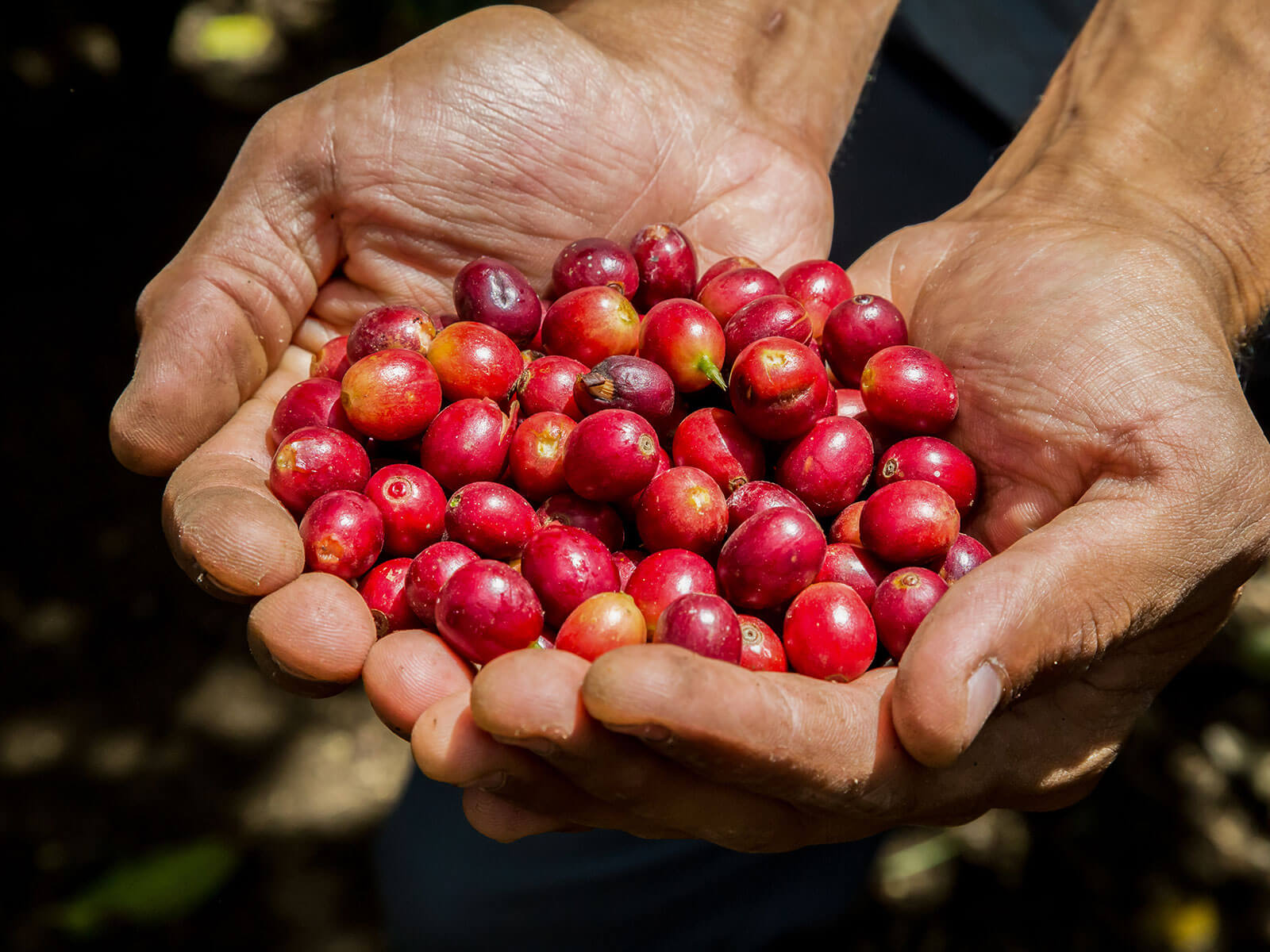 Coffee cherries in hands